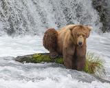 Bears - Big Grizzly - Katmai