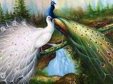 Peacock_04
