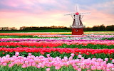 Blooming tulips-windmill-Holland