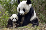 Panda-mère et petit