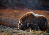 *A mother Musk Ox and her baby; Alaska
