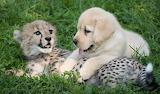 Jaguar and Lab