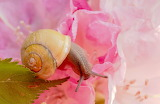 Painting of snail on pink flower by Miriam Zilles
