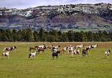 Black Hill's wild horses