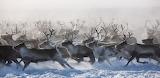Reindeer Stampede