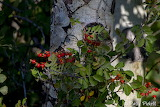aspen and rose hips