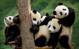Panda baby cute