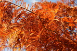Feuilles oranges / orange leaves