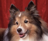 Dogs - Tri Colour Sheltie