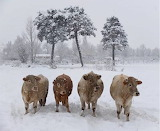 Vaca Bruna dels Pirineus - Bruna Cow from the Pyrenees