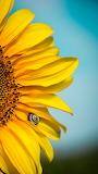 Yellow-sunflower-1054139