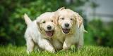 Two puppy of golden retriever