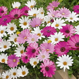 Daises pink & white