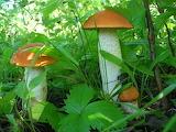 грибы 31
