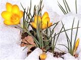 #Snowy Yellow Crocus