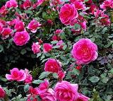 #Beach Roses