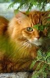 Tabby-fluffy-ginger-cat