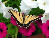 Mariposas-reales