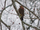 Yellow Shafted Flicker Spring Snowstorm