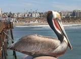 Pelican Life