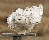 "Birds tumblr tangledwing ""Snowy Owl"""