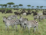 From-africa-kenya-forest-zebras-animals