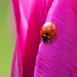 Ladybug on Pink Petal...
