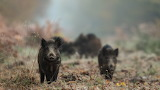 Wild-boars-forest