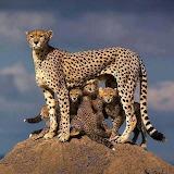 Cats - Cheetahs