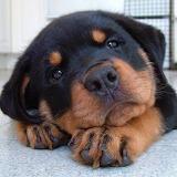 Dogs - Rottweiler Pup