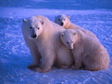 polar bears in the polar night