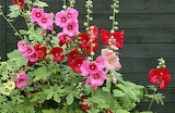 Hollyhocks..
