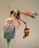 "Insects tumblr dogstardreaming ""Yellow Potter Wasp"" ""Delta campa"