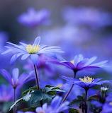Blue Anemone Blanda...
