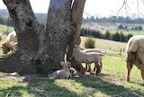 Babydoll Tree Lambs
