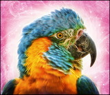 Blue Throated Macaw...