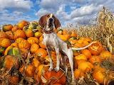 Pumpkin patch and Hound