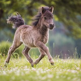 ❤️Little Mini Shetty Foal...