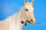 white horse with red rose