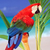 Congo Parrot...
