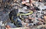 'Fido' our Lizard