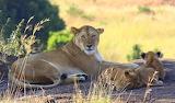 Lioness with cubs~Masai Mara, Kenya