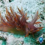 "Science tumblr noaasanctuaries nudibranch ""Dendronotus iris"""