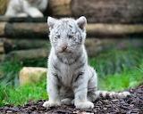 ☺♥ White tiger cub...