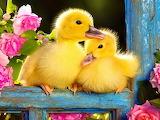 SweetLilDucklings