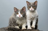 curly Selkirk Rex kittens
