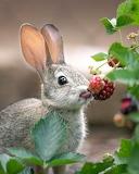 Conill - Rabbit