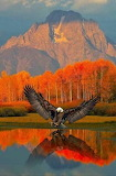EAGLE OVER WATER IN FALL