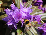 Bee on rhododendron