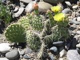 Opuntia spp 6